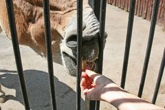 Feeding horses at the zoo. Man feeding a horse in the Moscow zoo Royalty Free Stock Image
