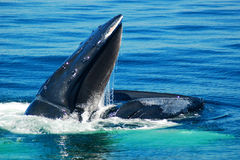 Feeding Humback Whale. A humpback whale comes to the surface to feed on the smaller fish stock photo