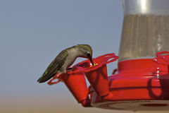 Feeding Hummingbird Stock Images
