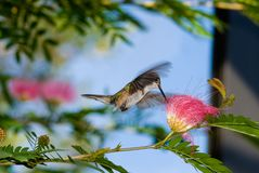 Feeding Hummingbird Royalty Free Stock Images