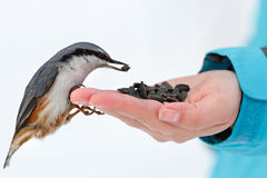 Feeding Hungry Birds In The Winter. Nuthatch Takes Sunflower Royalty Free Stock Photos