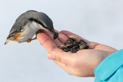 Feeding hungry birds in the winter. Nuthatch takes sunflower Stock Photo
