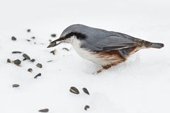 Feeding hungry birds in the winter. Royalty Free Stock Photos
