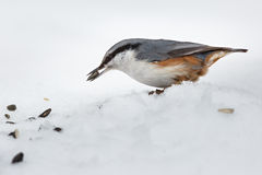 Feeding hungry birds in the winter. Royalty Free Stock Images