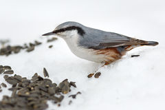 Feeding hungry birds in the winter. Stock Photography