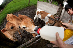 Feeding hungry calves on Costa Rican farm Stock Photo