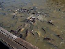 Feeding hungry cat fish. Stock Photo