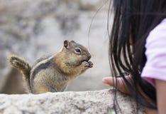Feeding Hungry Chipmunk Royalty Free Stock Photography