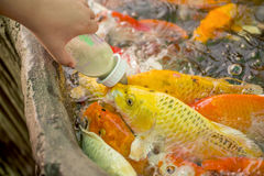 Feeding hungry fancy carp fish in the pool Royalty Free Stock Image