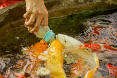 Feeding hungry fancy carp fish in the pool Stock Image