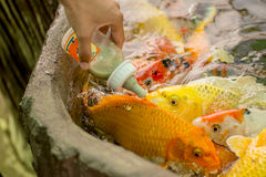 Feeding hungry fancy carp fish in the pool Royalty Free Stock Photos