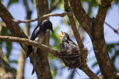 Feeding the Hungry. A Parent bird listens to the cries of hunger from its young ones Stock Photos