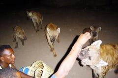 Feeding hyena Stock Image