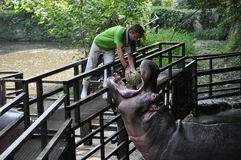 Feeding of Hyppo. Hyppo is being fed in Nagasaki biopark (Japan Royalty Free Stock Images