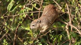 Feeding hyrax stock video