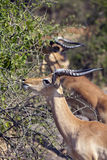Feeding Impala. Herd of Impala feeding on bushes royalty free stock images