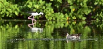 Feeding juvenile common moorhen. Royalty Free Stock Photos