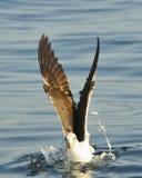 Feeding Juvenile Kelp gull (Larus dominicanus) Royalty Free Stock Photography