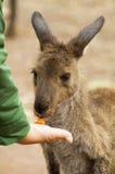 Feeding kangaroo Stock Image