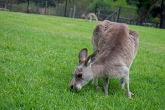Feeding kangaroo. In Symbio wildlife park, Helensbutgh, Australia Stock Photo