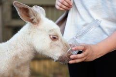 Feeding kangaroo Royalty Free Stock Image