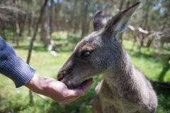 Feeding a kangaroo Royalty Free Stock Photography