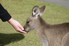 Feeding the kangaroos at Australia Zoo. Steve Irwin's famous Australia Zoo gives patrons the opportunity to touch and feed Australia's unique animal, the Royalty Free Stock Photos