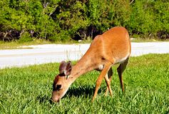 Feeding Key Deer Royalty Free Stock Photo