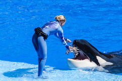 Feeding a Killer Whale Stock Images