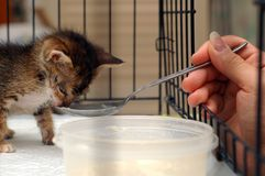 Feeding Kitten. With milk in cage Royalty Free Stock Photos