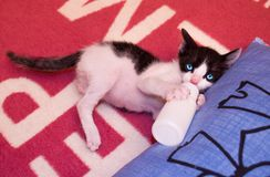 Feeding the kitten with a milk replacer. A cute baby cat is holding a milk replacer and feeding it self Stock Photos