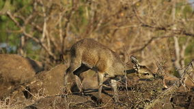 Feeding klipspringer antelope stock video
