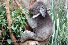 Feeding koala Stock Image