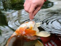 Feeding koi carp. By hand (Cyprinus Rubrofuscus Stock Photos