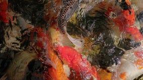 Feeding koi carp fish in clear water aquatic stock video
