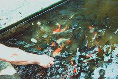Feeding koi carp by hand Royalty Free Stock Image