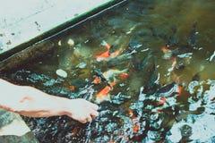 Feeding koi carp by hand Royalty Free Stock Image
