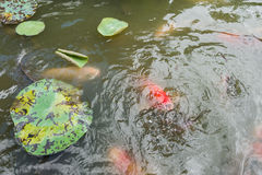 Feeding Koi fish and Catfish at pond Stock Photo