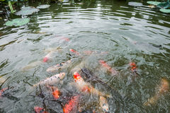 Feeding Koi fish and Catfish at pond Royalty Free Stock Photography
