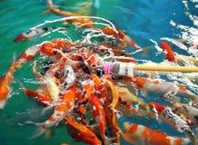 Feeding Koi fish with milk bottle Stock Photography