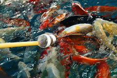 Feeding Koi fish with milk bottle Stock Images