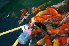 Feeding Koi fish with milk bottle Royalty Free Stock Image
