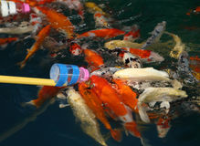 Feeding Koi fish with milk bottle Stock Image