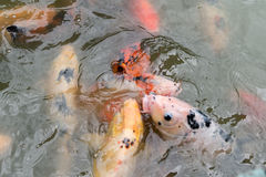 Feeding Koi fish at pond Royalty Free Stock Photos