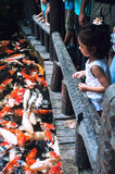 Feeding koi fishes Royalty Free Stock Images