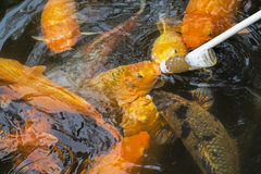 Feeding Koi goldfish using a baby bottle in Chengdu China Stock Photo
