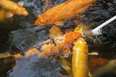 Feeding Koi goldfish using a baby bottle in Chengdu China Royalty Free Stock Images