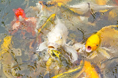 Feeding koi with hand. Animal aquatic asian background beautiful Stock Image