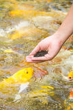 Feeding koi with hand Stock Images