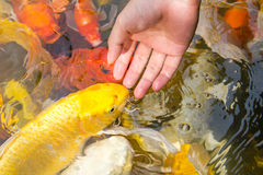 Feeding koi with hand. Animal aquatic asian background beautiful Stock Images